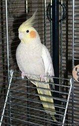 Продом попугая корелла