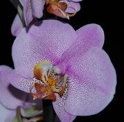 Орхидея в подарок