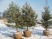продажа и посадка деревьев в Барнауле тел.601-986