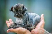 Продам щенков китайской хохлатой! мылые,  смышленые,  игривые))