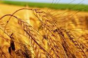 мука,  крупа гречневая,  масло подсолнечное,  семечка,  пшеница