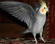 Попугаи Кореллы